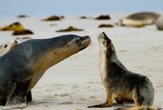 morze lwa Fotografia Stock