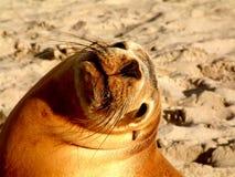 morze lwa Zdjęcia Royalty Free
