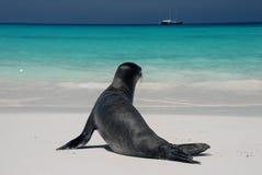 morze lwa obrazy stock