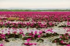 Morze różowy i czerwony lotos przy Udonthani Tajlandia Obraz Stock