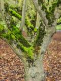 Mos behandelde bomen in boomgaard royalty-vrije stock afbeelding