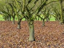 Mos behandelde bomen in boomgaard stock fotografie