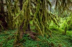 Mos behandelde bomen, Olympisch Nationaal Park Stock Foto's