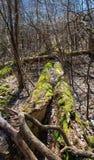 Mos behandelde bomen in wilde, onaangeroerde aard Stock Fotografie