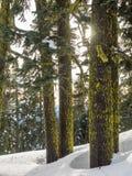 Mos behandelde boomboomstammen in de sneeuw royalty-vrije stock afbeeldingen