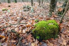 Mos-behandelde boomstomp onder gevallen eiken bladeren stock foto's