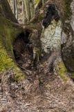 Mos-behandelde boomwortels die wortels ineenstrengelen royalty-vrije stock afbeelding