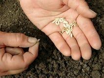 Mãos com sementes Fotografia de Stock