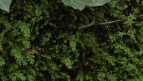 Mos en varentextuur op een boom SF stock footage
