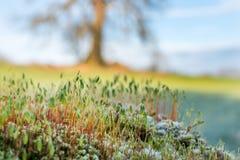 Mos fruiting organismen met boom op achtergrond Royalty-vrije Stock Afbeeldingen