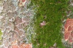 Mos het groeien op boomboomstam in de schors van de regenwoudboom met groene bemost royalty-vrije stock foto's