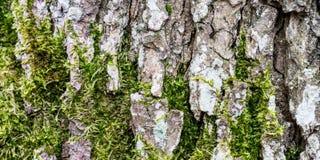 Mos het groeien op schors van boomboomstam Stock Foto