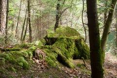 mos op bomen in het bos stock foto's
