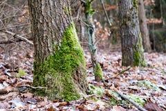 Mos op boomboomstammen Bos en bomen met mos wordt behandeld dat Stock Fotografie