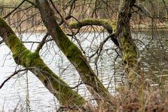 Mos op boomboomstammen Bos en bomen met mos wordt behandeld dat Royalty-vrije Stock Foto
