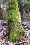 Mos op boomboomstammen Bos en bomen met mos wordt behandeld dat Royalty-vrije Stock Fotografie