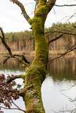 Mos op boomboomstammen Bos en bomen met mos wordt behandeld dat Royalty-vrije Stock Foto's