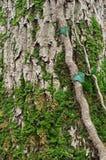 Mos op boomschors Stock Foto's