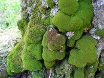 Mos op boomstam van oude boom stock afbeeldingen
