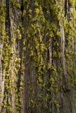 Mos op Californische sequoia Royalty-vrije Stock Afbeeldingen