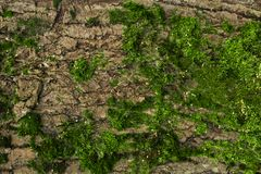Mos op de boom Achtergrond Textuur stock afbeelding