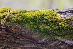 Mos op een boom Stock Foto