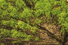Mos op een boomstomp Stock Afbeelding