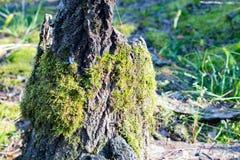 Mos op een stomp in het bos Royalty-vrije Stock Afbeeldingen