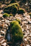 Mos op een stomp in het bos Royalty-vrije Stock Foto