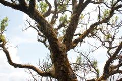 Mos op oude bomen Stock Afbeeldingen