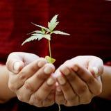 Mãos que guardam uma planta do bebê Imagens de Stock