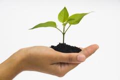 Mãos que prendem o seedling Fotografia de Stock