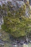 MOS sur l'arbre Images stock