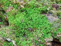 Mos texturenachtergrond Groene mos op Steenachtergrond stock afbeelding