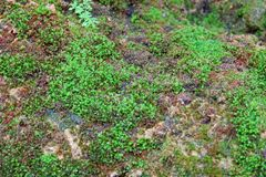 Mos texturenachtergrond Groene mos op Steenachtergrond stock fotografie