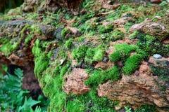 Mos texturenachtergrond Groene mos op Steenachtergrond stock foto