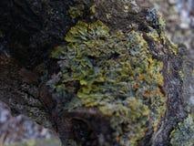Mos van een oranje boom Stock Foto's