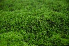 MOS verde Fotografia Stock Libera da Diritti