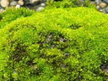 MOS verde Foto de Stock Royalty Free