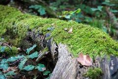 MOS vert s'élevant sur un grand tronc d'arbre Fond trouble de forêt Feuilles d'automne au sol tir de plan rapproché de Bas-angle Photo libre de droits