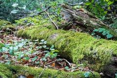 MOS vert s'élevant sur un grand tronc d'arbre Fond trouble de forêt Feuilles d'automne au sol tir de plan rapproché de Bas-angle Photographie stock
