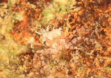 Mosaic boxer crab. (Lybia tesselata) - Lembeh Strait, North Sulawesi, Indonesia Stock Photography