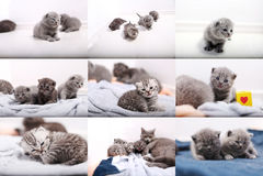 Mosaic photos of British Shorthair baby kittens Stock Images