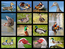 Mosaic photos of ducks Stock Images