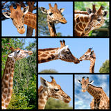 Mosaic photos of giraffes Stock Photography
