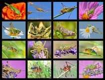 Mosaic photos of grasshoppers Royalty Free Stock Images