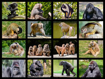 Mosaic photos of monkeys Stock Image