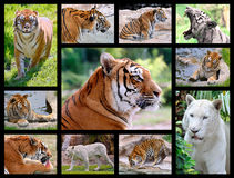 Mosaic photos of tigers Stock Photo