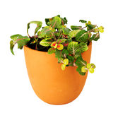 Mosaic plant, Fittonia, in a clay pot Stock Images