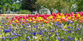 Mosaic of tulips and other bulb flowers. Masses of tulips and other early garden blooms, one of the many colorful displays of spring time bulb flowers in the royalty free stock photography